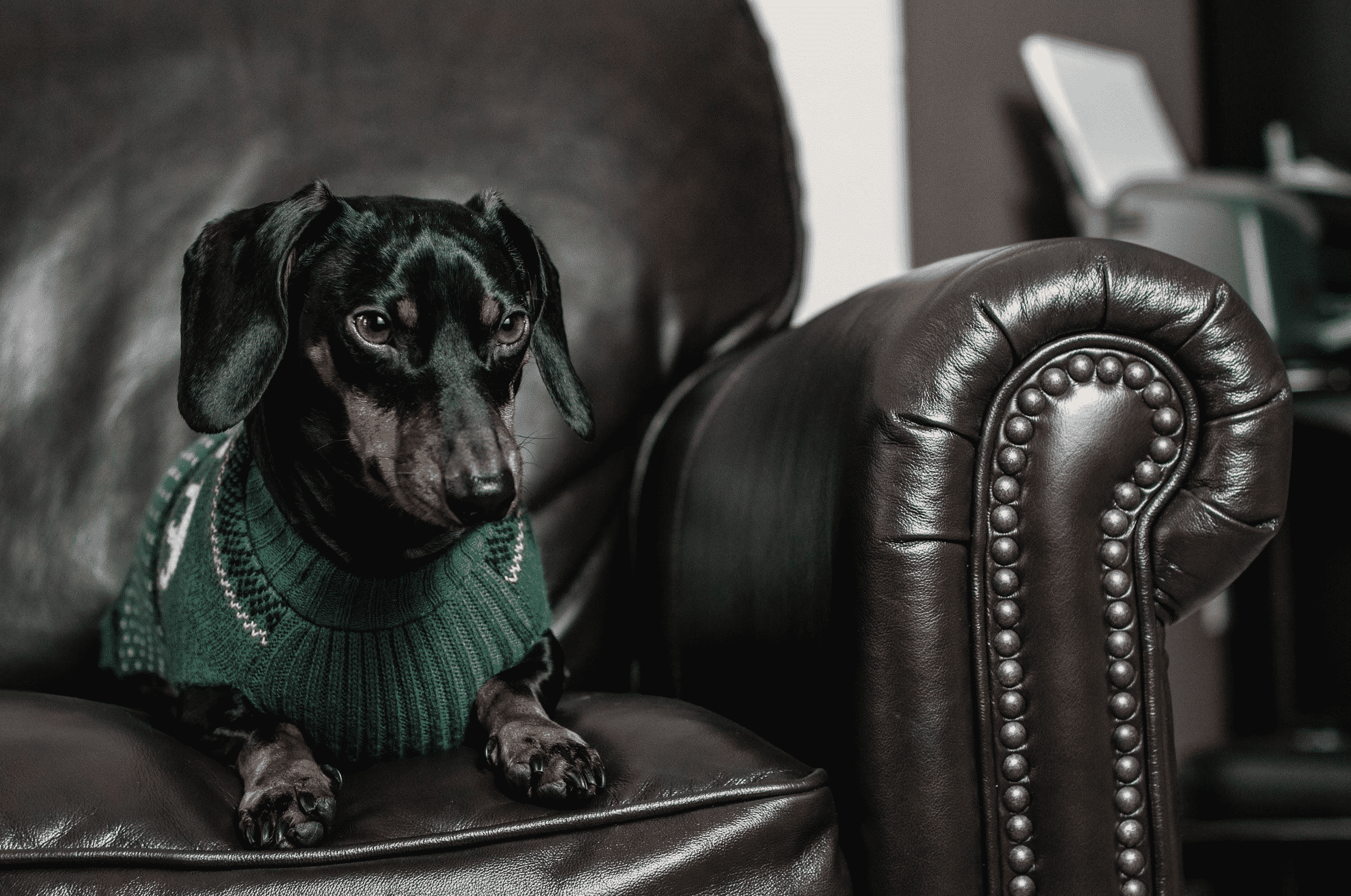 Dachshund on a couch