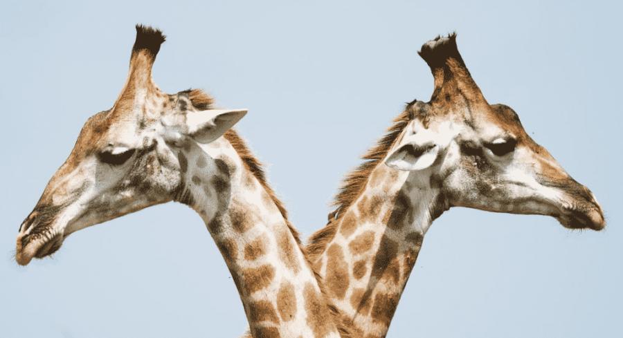 Two Giraffe's heads
